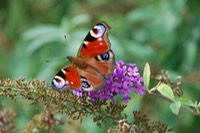 Beautiful butterfly feeding furiously on flower, France, Sept 09.JPG